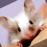 Декоративные крысы, первое знакомство.
