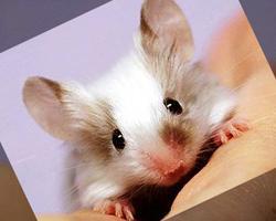 Декоративные крысы, первое знакомство