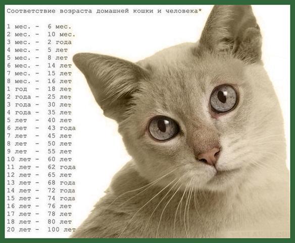 Соответствие возраста кошка возрасту человека