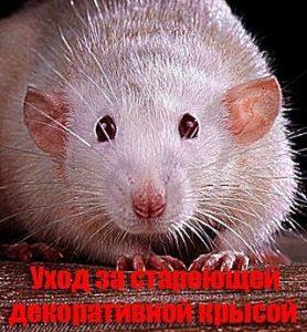 уход за стареющими декоративными крысами