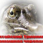 Китайский Трионикс домашняя черепаха