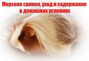Морские свинки, уход и содержание в домашних условиях