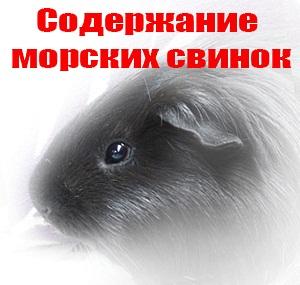 Содержание морских свинок дома. анонс статьи
