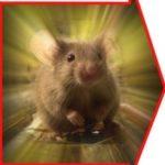 Крысы и жара