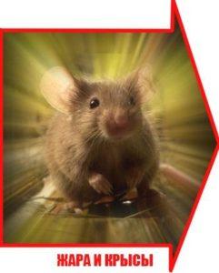 Жара и крысы