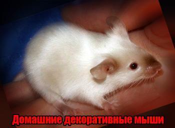 домашние декоративные мыши