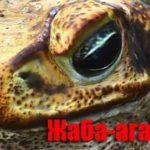 Жаба-ага в домашних террариумах