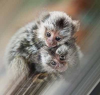 Мармозетка обезьяна.