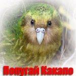 Попугай Какапо или Совиный попугай