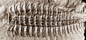 Артроплевра (Arthropleura) окаменелый отпечаток