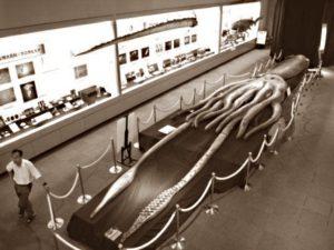Гигантские кальмары (лат. Architeuthis)
