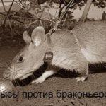 Крысы на страже природы