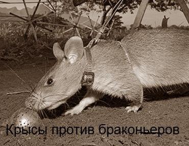Гигантских Африканских сумчатых крыс
