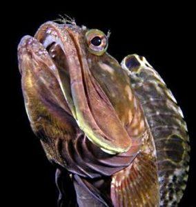 О Щучей морской собачке (лат. Neoclinus blanchardi)