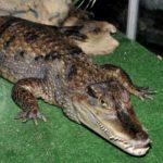 В Китайском зоопарке сбежали 78 крокодилов