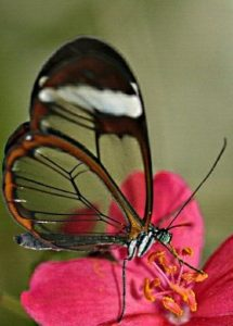 Бабочки Грета ото(Greta oto) из семейства нимфалид