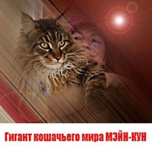 Гигант кошачьего мира МЭЙН-КУН