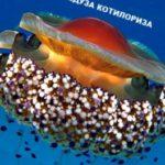 Средиземноморская котилориза (Cotylorhiza tuberculata)