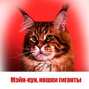 Мэйн-кун, кошки гиганты