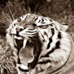 Нападение тигра на работницу зоосада
