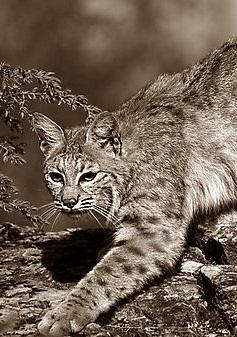 Рысь, особенная кошка