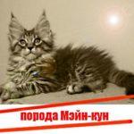 Мэйн-кун, кошки гиганты.