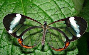 удивительная и красивая бабочка Грета ото