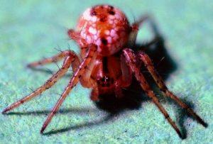 южноамериканские пауки-пращники (Theridiosomatidae)